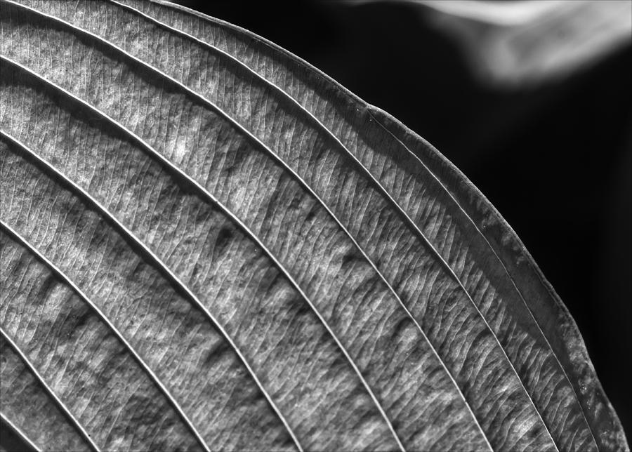 Leaf Photograph - Back Lit Leaf by Robert Ullmann