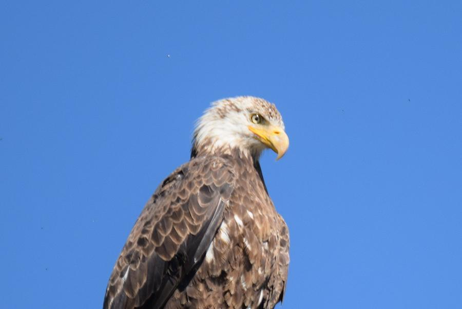 Animal Photograph - Bald Eagle Juvenile Perched by Margarethe Binkley