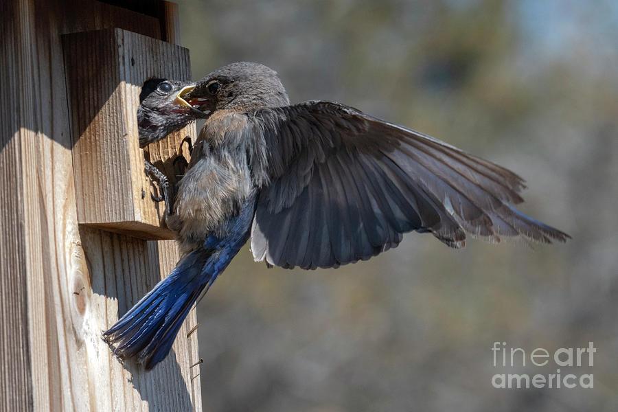 Bluebird Photograph - Beak To Beak by Mike Dawson