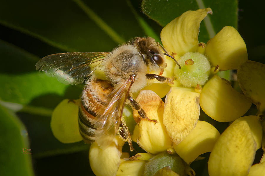 Animals Photograph - Bees Gathering From Pittosporum Flowers by Jim Thompson