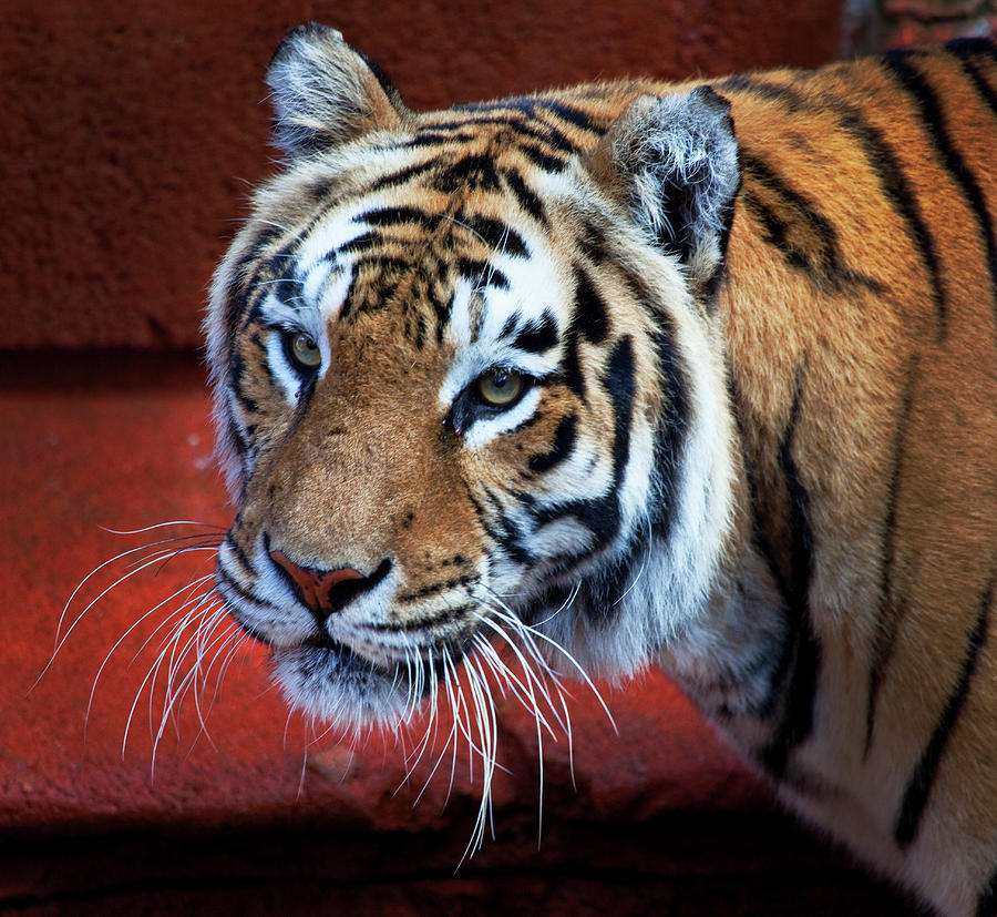Tiger Photograph - Bengal Tiger by Bruce Beck