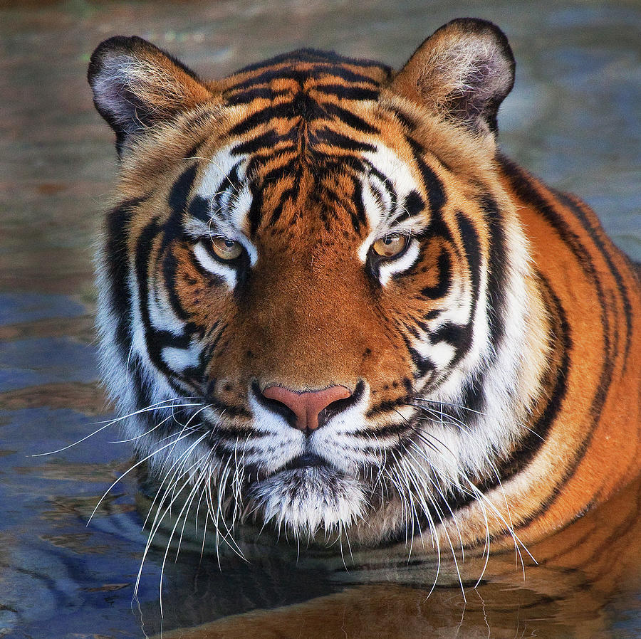 Tiger Photograph - Bengal Tiger Laying In Water by Bruce Beck