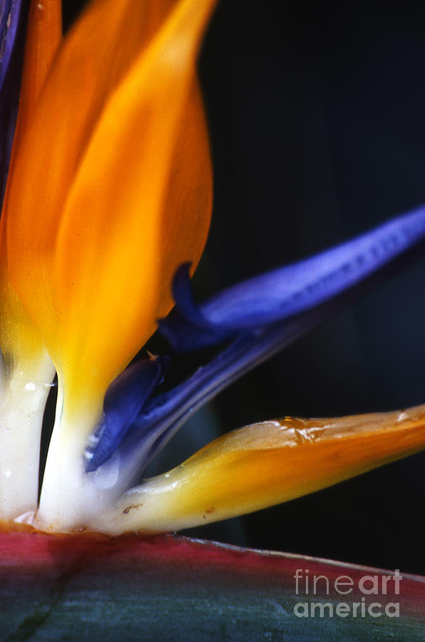 Abstract Photograph - Bird Of Paradise by Linda  Parker