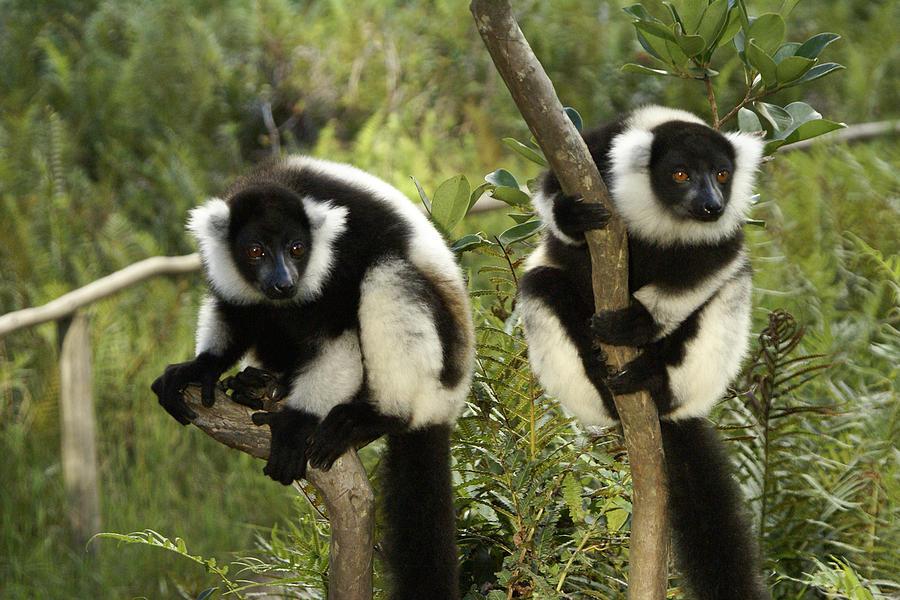 Madagascar Photograph - Black And White Ruffed Lemur by Michele Burgess