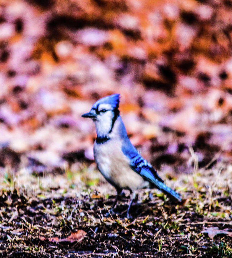 Blue Jay  Photograph by William Rogers