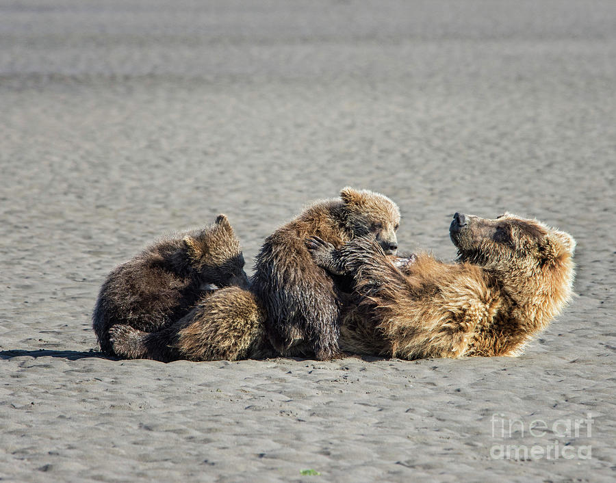Grizzly Bear Photograph - Break Time by Claudia Kuhn