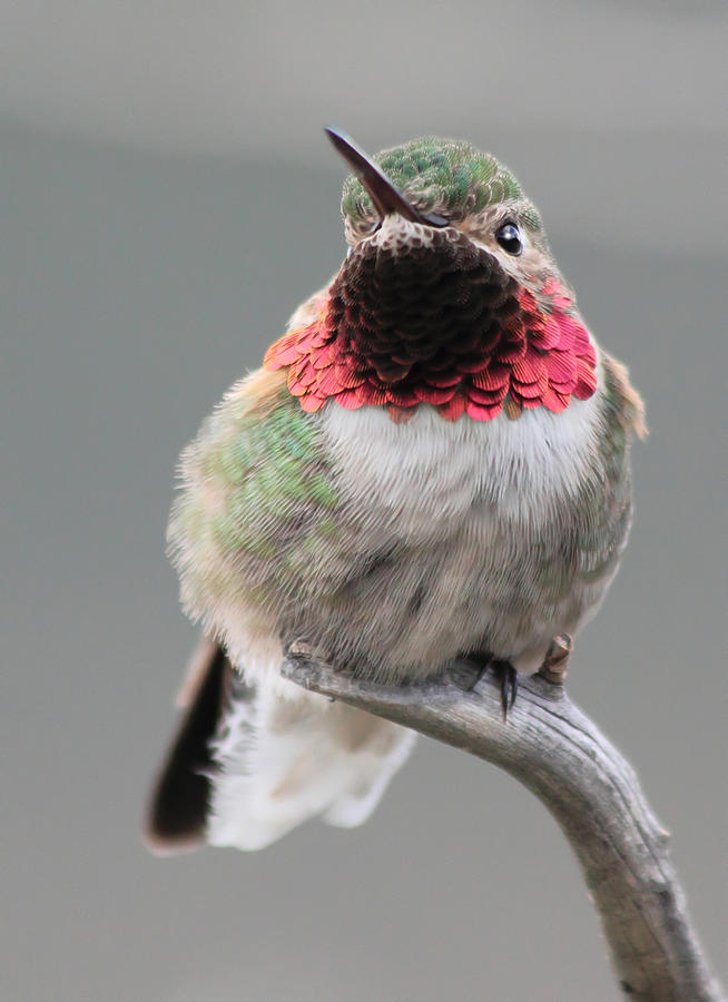 Hummingbird Photograph - Broad-tailed Hummingbird by Shane Bechler