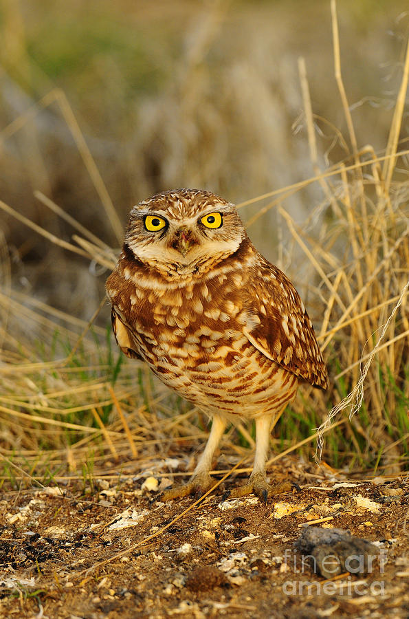 Bird Photograph - Burrowing Owl by Dennis Hammer