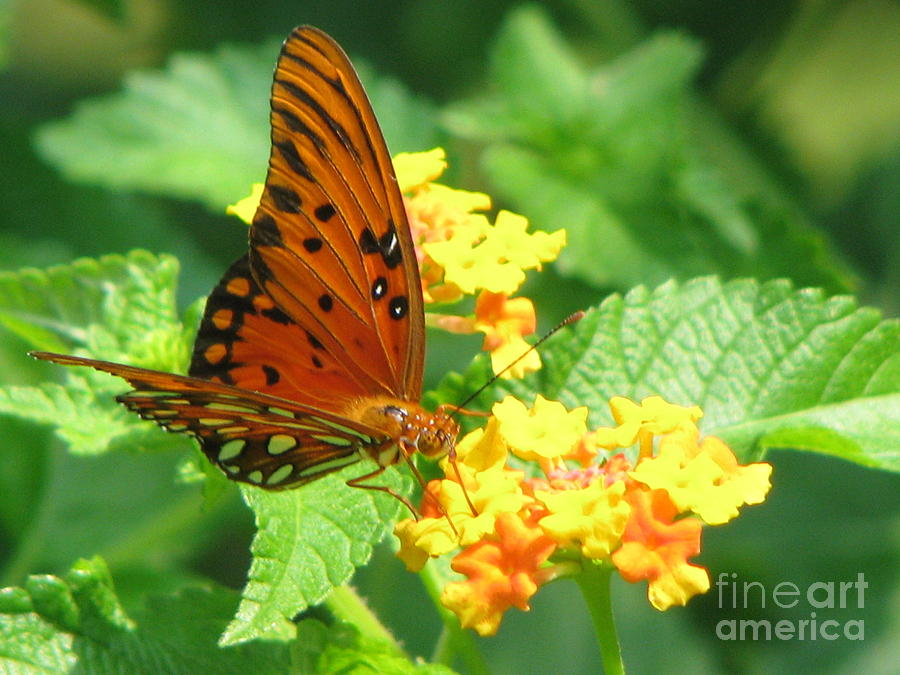 Butterfly Photograph - Butterfly by Amanda Barcon