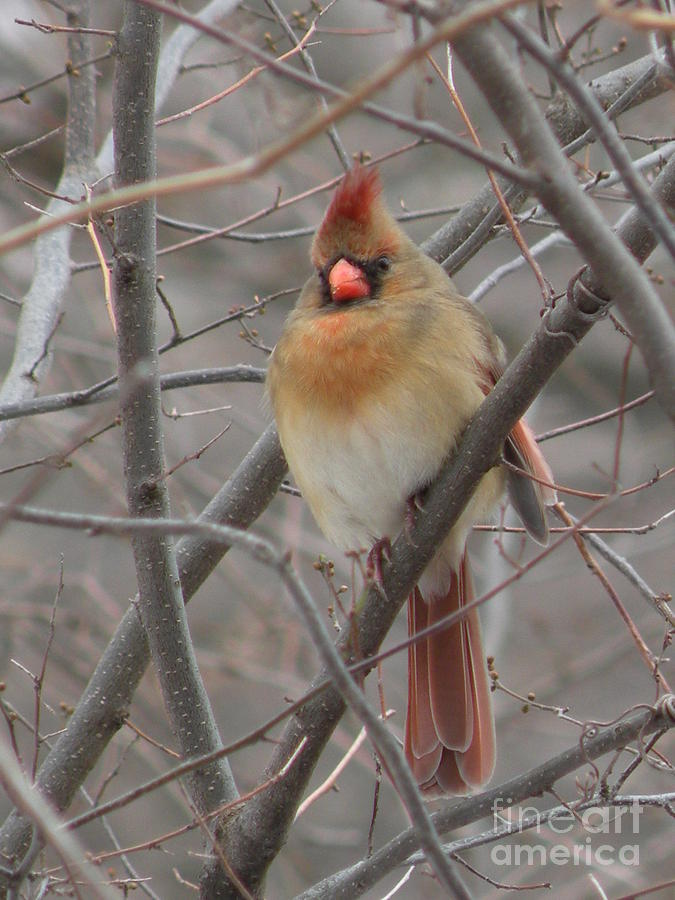 Cardinal - Female by Joanne Young