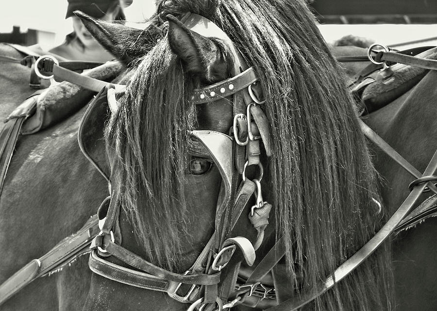 Blinders Photograph - Carriage Horse Beauty by Dressage Design
