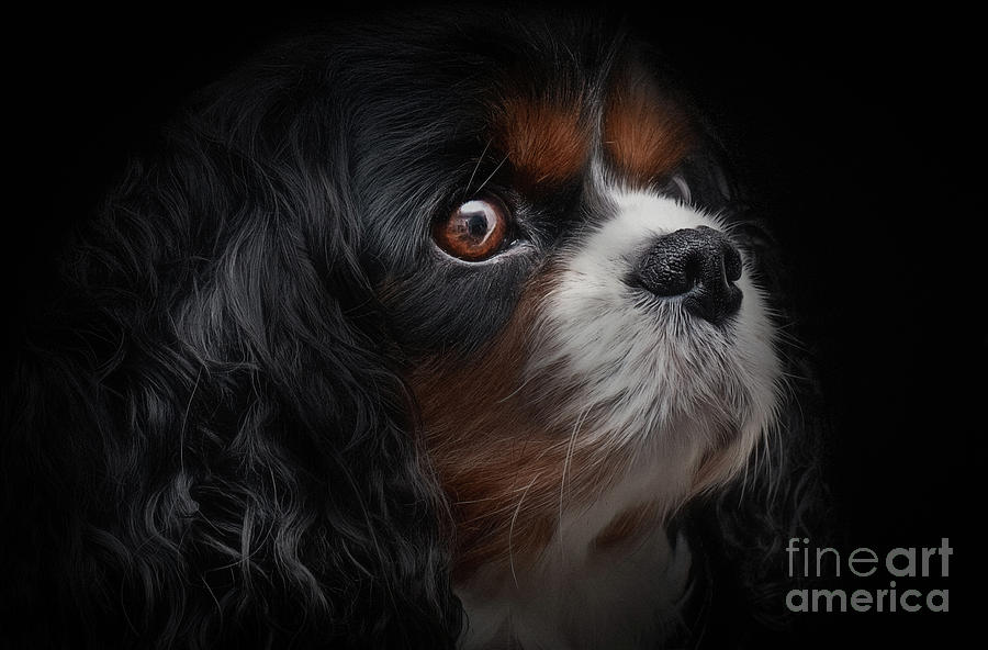 Adorable Photograph - Cavalier King Charles by Shaun Wilkinson
