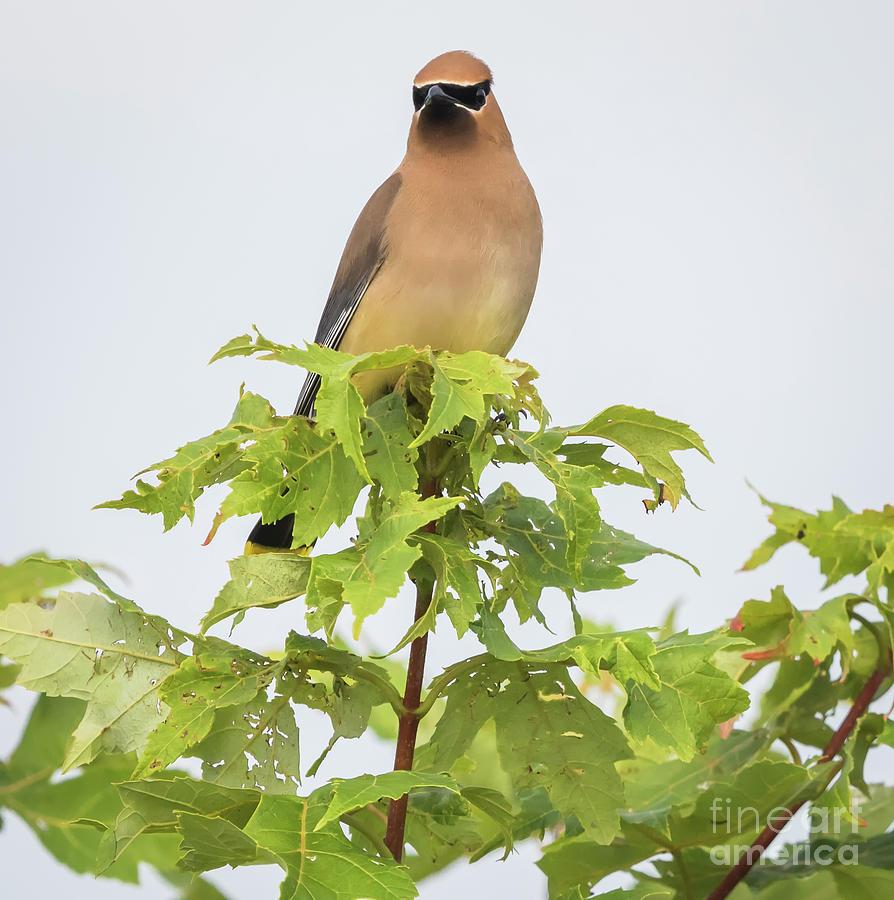 Canon Photograph - Cedar Waxwing by Ricky L Jones