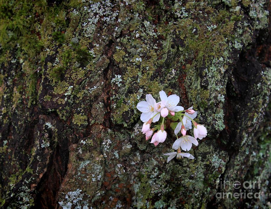 Cherry Blossom Photograph - Cherry Blossoms by Tari Simmons