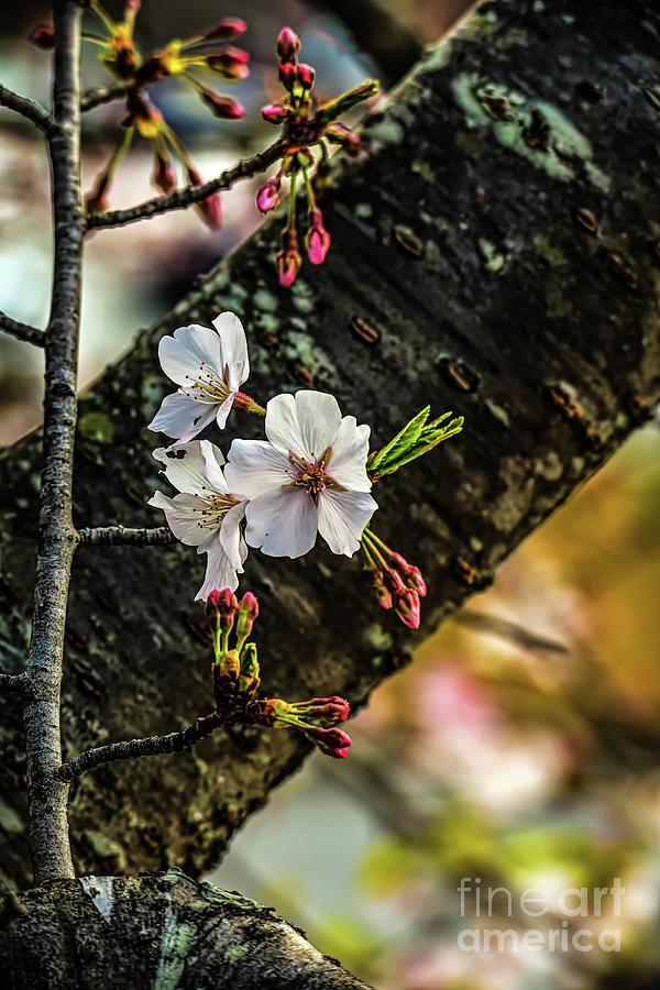 Home Decor Photograph - Cherry Tree Blossoms by Elijah Knight