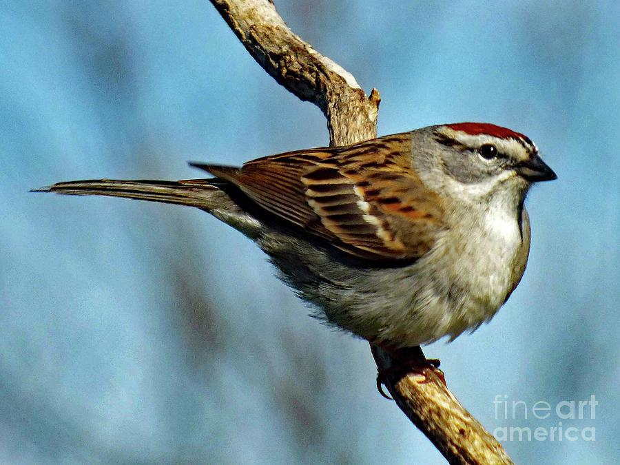 Chipping Sparrow Photograph