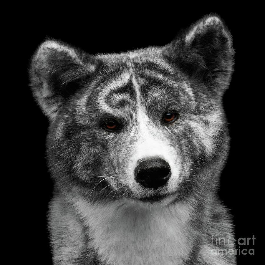 Akita Photograph - Closeup portrait of Akita inu Dog on Isolated Black Background by Sergey Taran