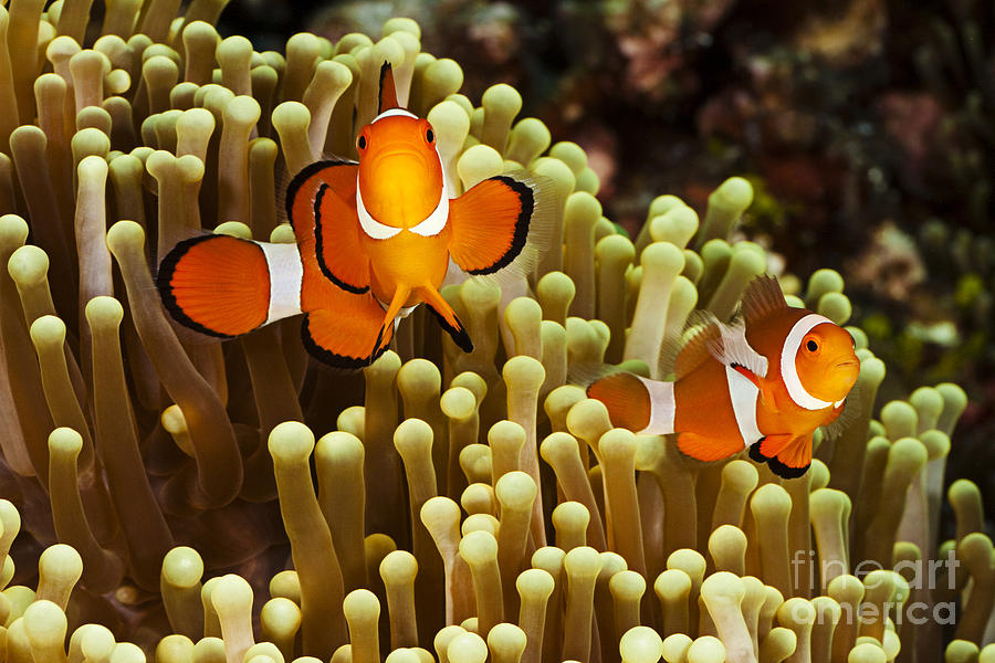 Anemone Photograph - Clown Anemonefish by Dave Fleetham - Printscapes