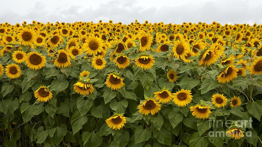 Colby Farm Sunflower Field Newburyport Photograph