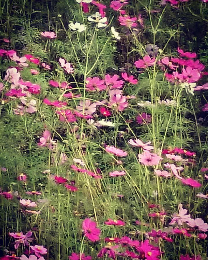 Cosmos Photograph - Cosmos Flowers  by Sobajan Tellfortunes