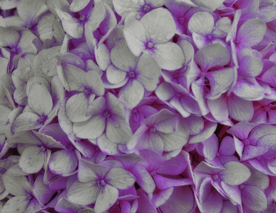 Hydrangea Photograph - Cotton Candy by JAMART Photography