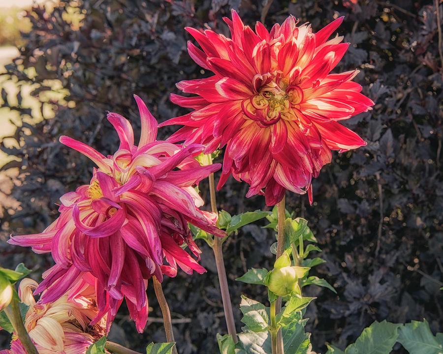 Flowers Photograph - Dahlia by Jim Bembinster