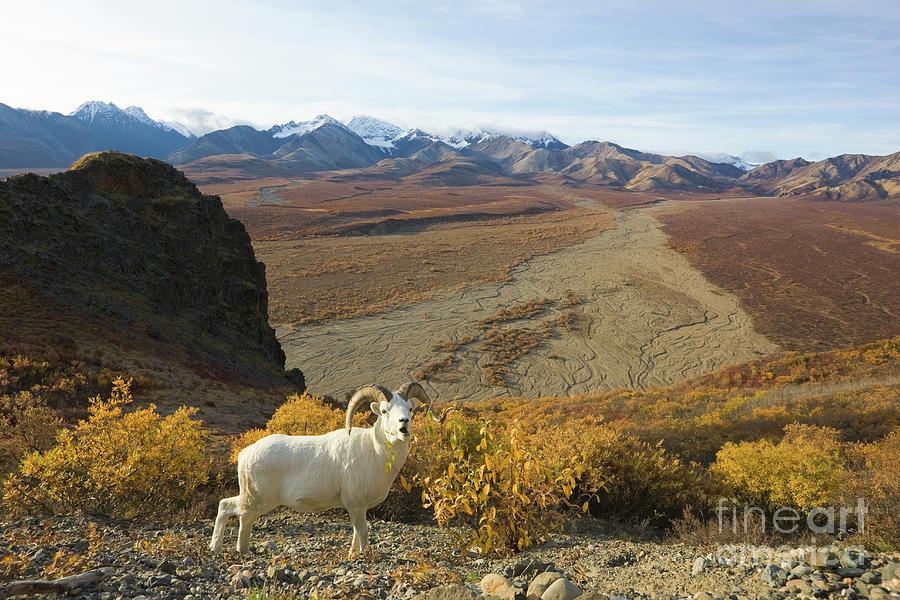 Mp Photograph - Dalls Sheep In Denali by Yva Momatiuk John Eastcott