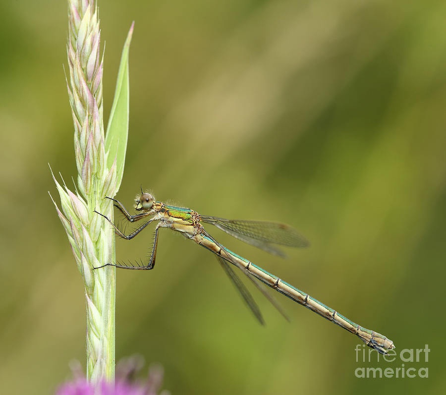 Damselfly by Maria Gaellman