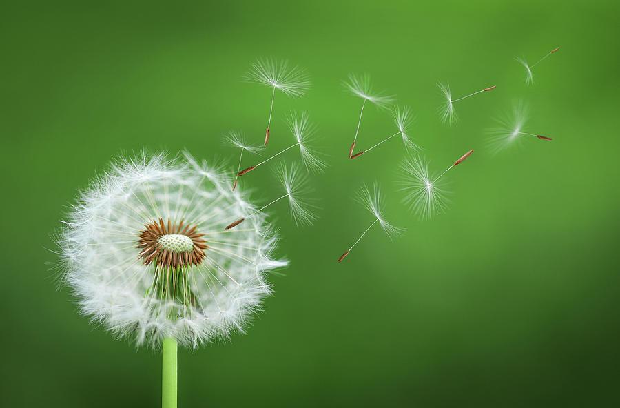 Dandelion Blowing Photograph by Bess Hamiti
