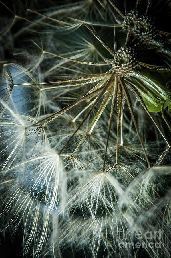 Dandelions Photograph - Dandelions by Iris Greenwell