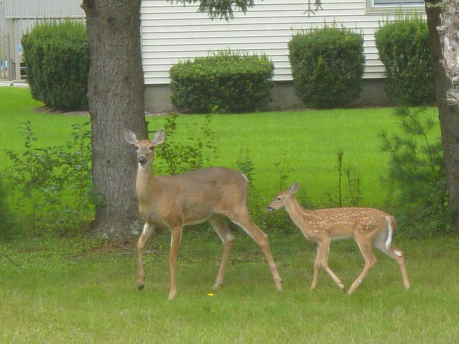 Animals Photograph - Deer In Ma by Victoria Wang