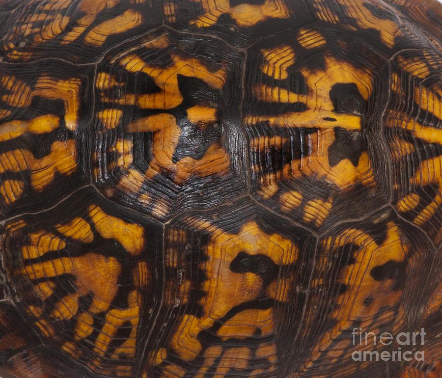 Eastern Box Turtle Shell Pattern Photograph By Scott Camazine
