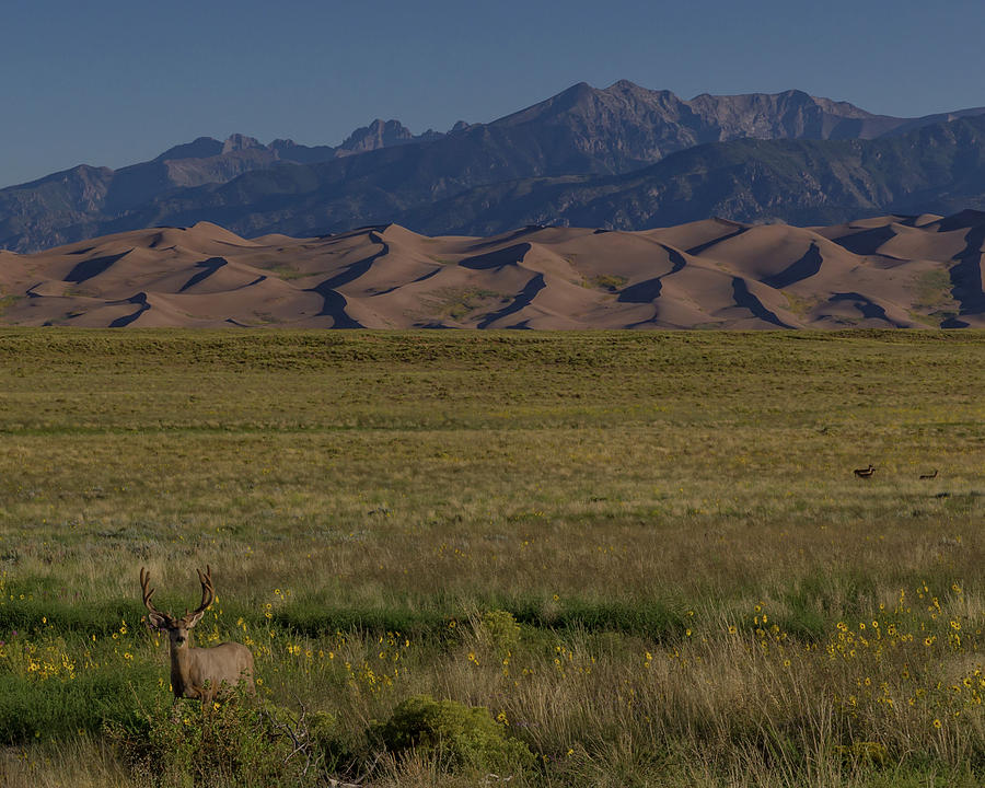 2017 Photograph - Eight Point Buck In The Grass Lands Of The Great Sand Dunes by Bridget Calip
