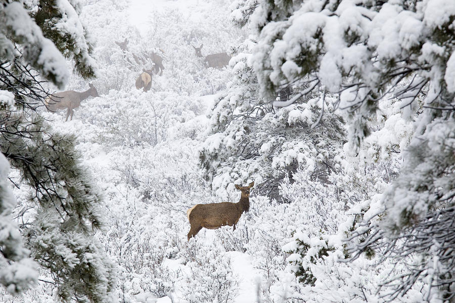 Elk In Deep Snow In The Pike National Forest Photograph