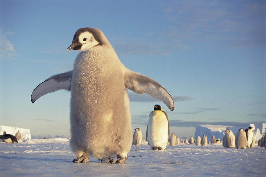Mp Photograph - Emperor Penguin Aptenodytes Forsteri by Tui De Roy