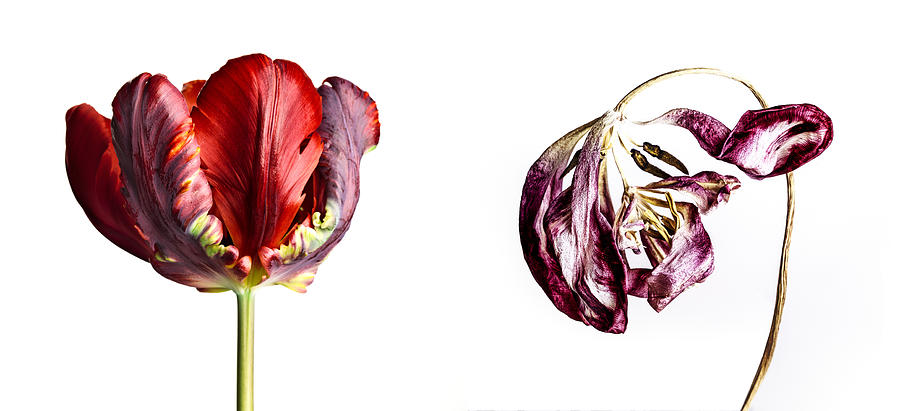 Tulip Flower Photograph - Fading Beauty by Nailia Schwarz