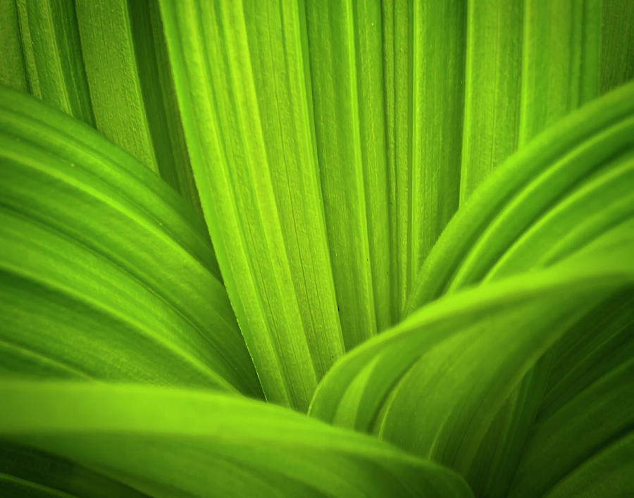 False Hellebore  Abstract by John Vose