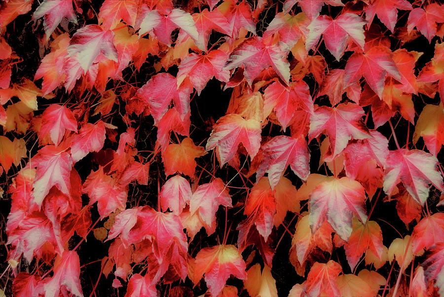 Vine Photograph - Fiery Foliage by JAMART Photography
