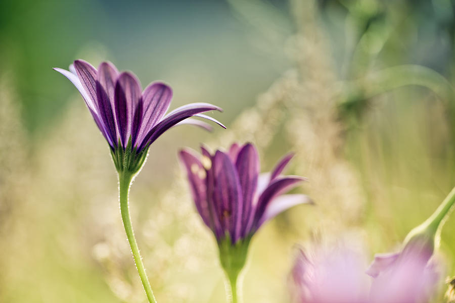 Flower Photograph - Flower on Summer Meadow by Nailia Schwarz