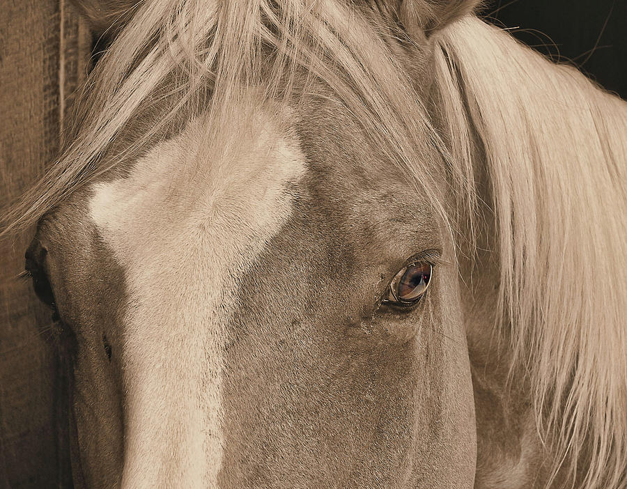 Horse Photograph - Golden Palomino by JAMART Photography