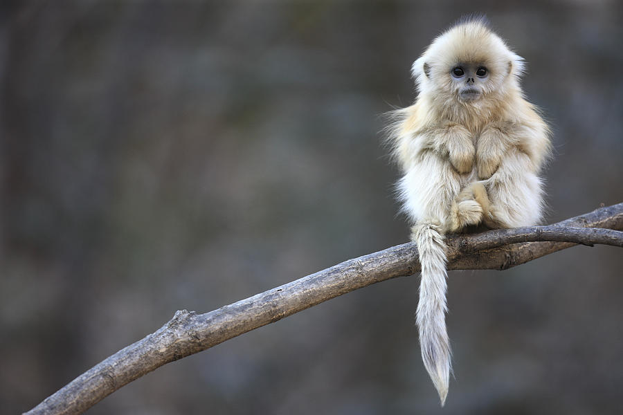 Mp Photograph - Golden Snub-nosed Monkey  by Cyril Ruoso
