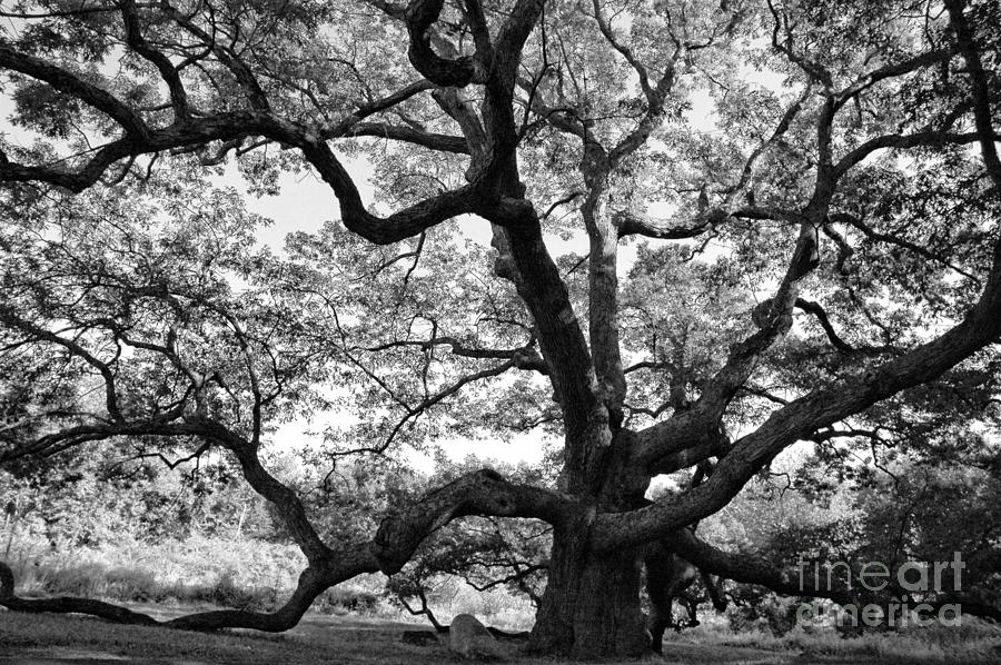 Oak Photograph - Granby Oak by HD Connelly