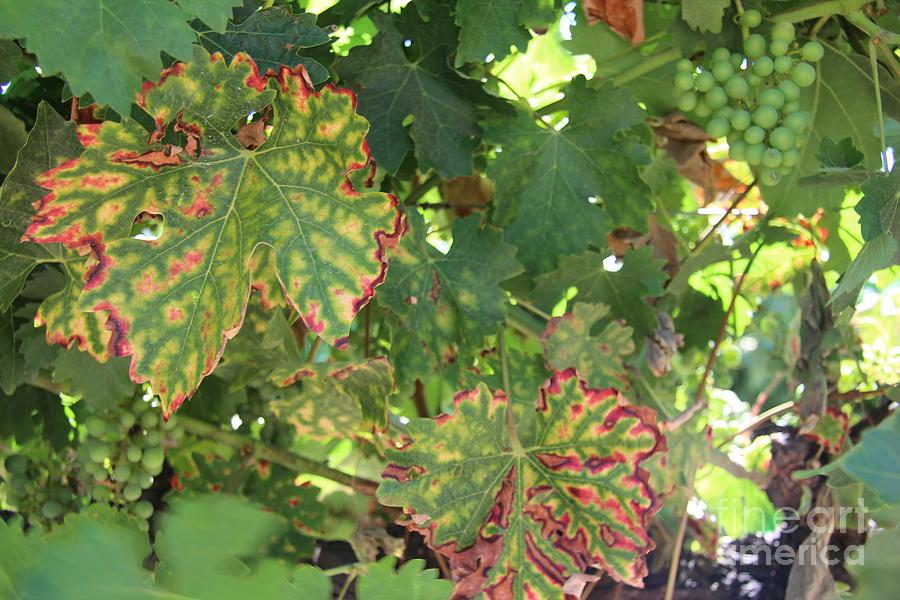 Wine Cork Photograph - Grape Vine by Anthony Jones