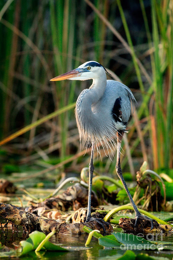 Great Blue Heron Photograph - Great Blue Heron by Matt Suess