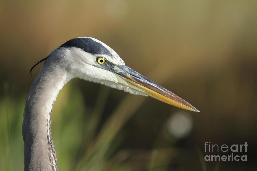 Bird Photograph - Great Blue Heron by Rick Mann