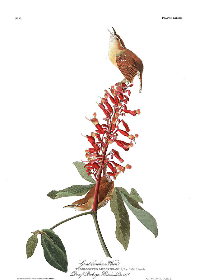 Berries Painting - Great carolina Wren by John James Audubon