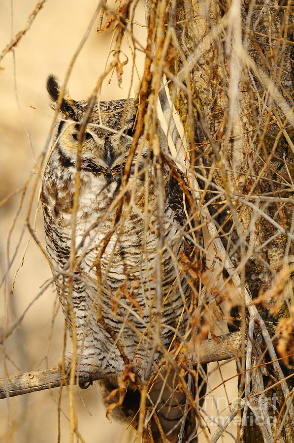 Bird Photograph - Great Horned Owl by Dennis Hammer