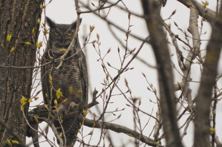 500mm Lens Photograph - Great Horned Owl by Matt Steffen