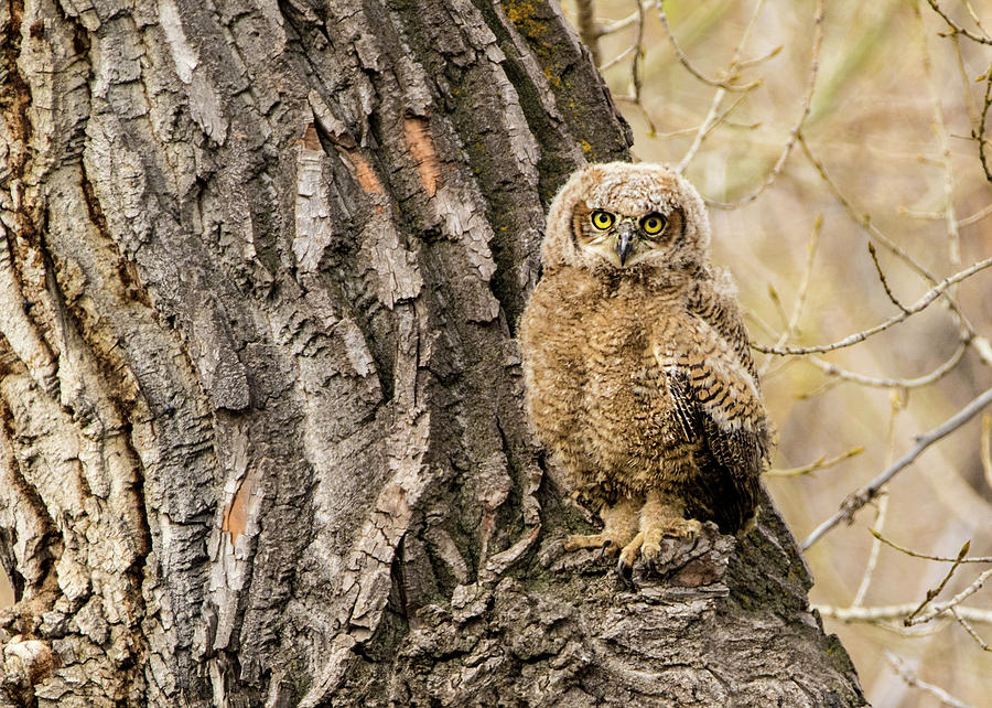 Bubo Virginianus Photograph - Great Horned Owlet  by Dawn Key