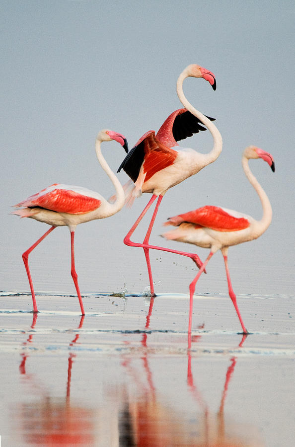 Color Image Photograph - Greater Flamingos Phoenicopterus Roseus by Panoramic Images